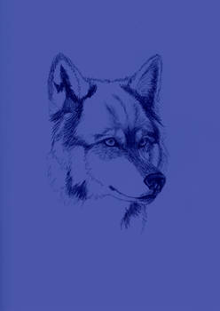 Wolf Sketch on Color