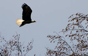 eagle in flight by leonnosyt