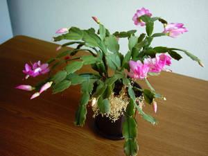 Bloomy cactus.