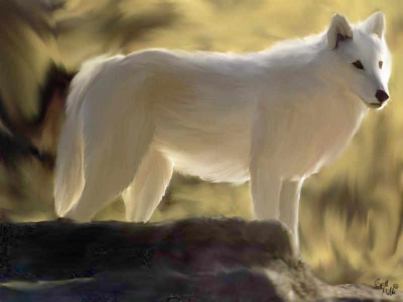 White wolf by spill-milk