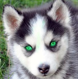 Husky with green eyes by Skyfire-x33 on DeviantArt