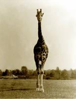 giraffe by studpup