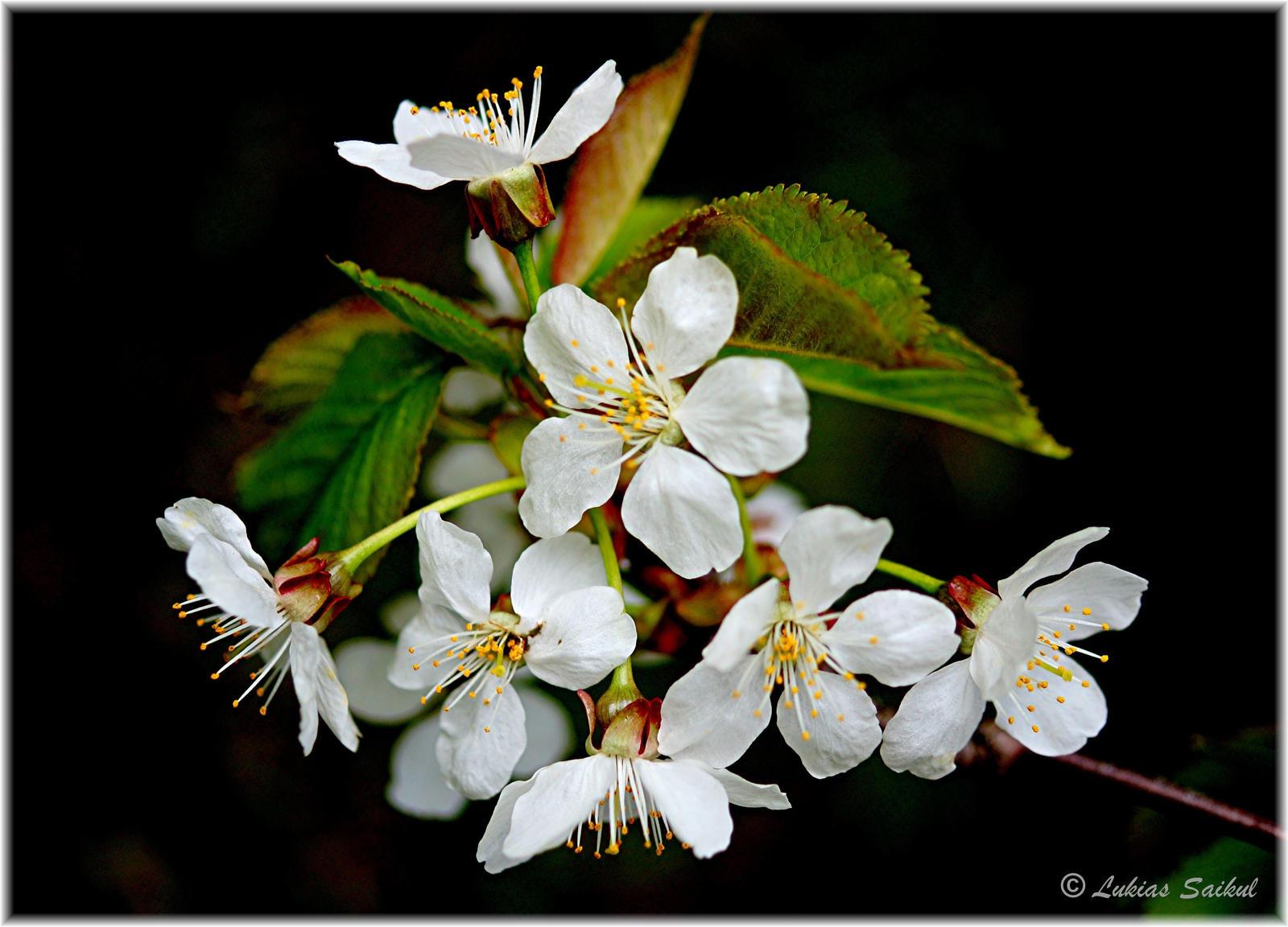 Spring 2013 XII by lukias-saikul