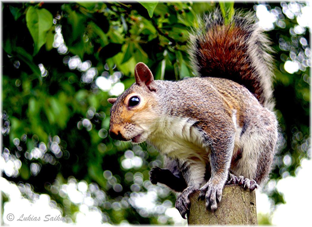 Squirrel III by lukias-saikul