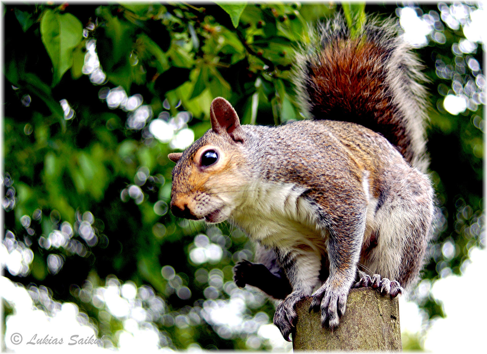 Squirrel III by lukias-saikul