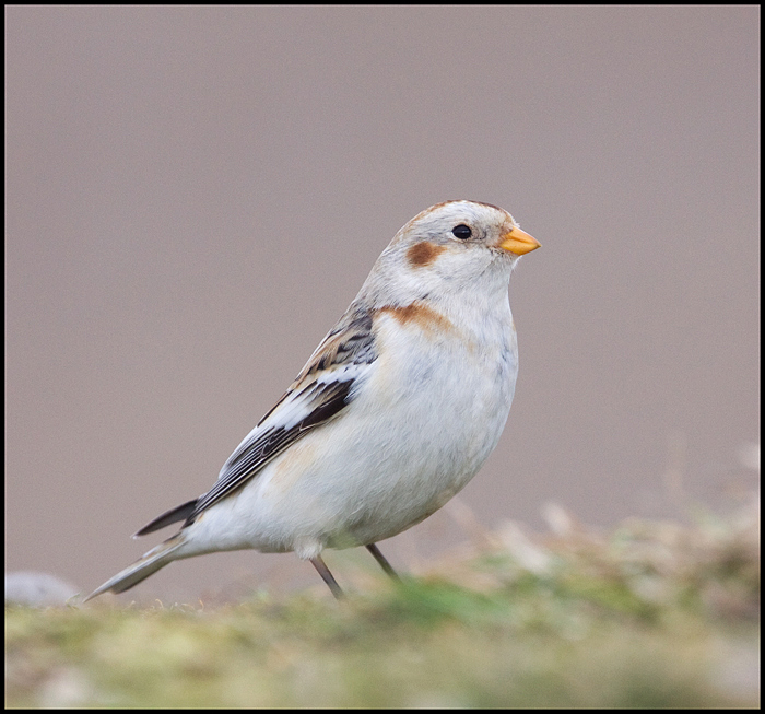 Snow Bunting 1 by rosie-a-g