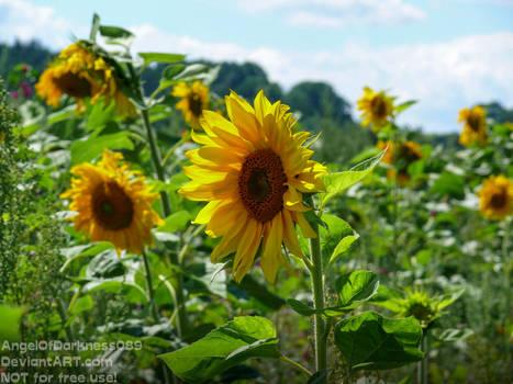 Beautiful Wild Sunflowers - Germany 2017