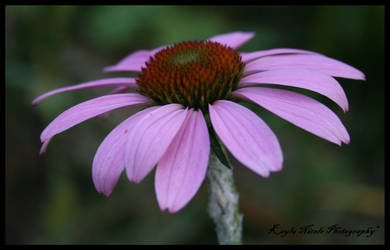 Purple Daisy by tat2dromance