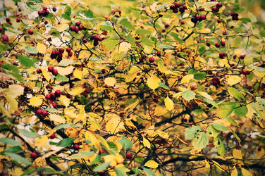 hawthorn berries by vonrubinstein