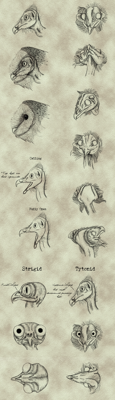 Tyto alba - Head Studies by Earldense