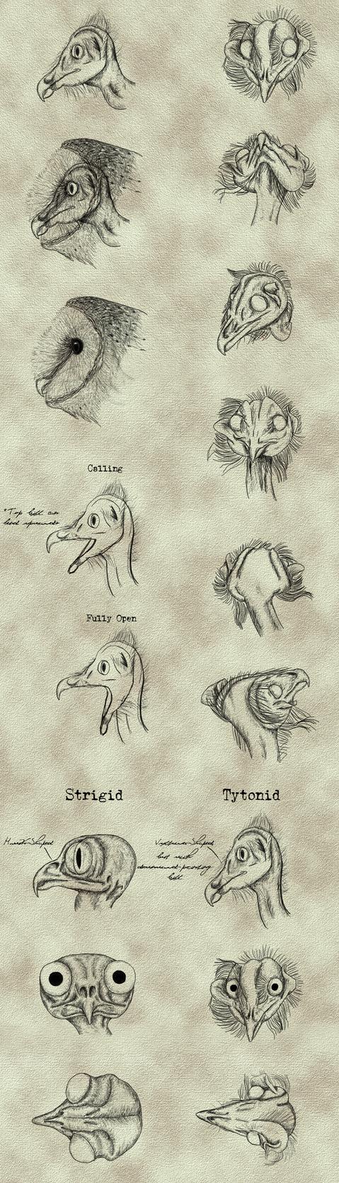 Tyto alba - Head Studies by Earldense