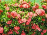 Flower Bush 1