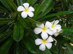 Frangipani Group Flowers on Hawaii