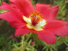 Red Beauty Flower by JassysART
