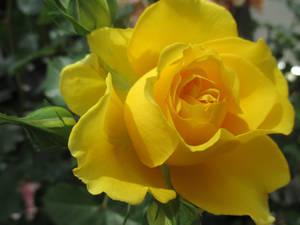 Yellow Beauty Rose