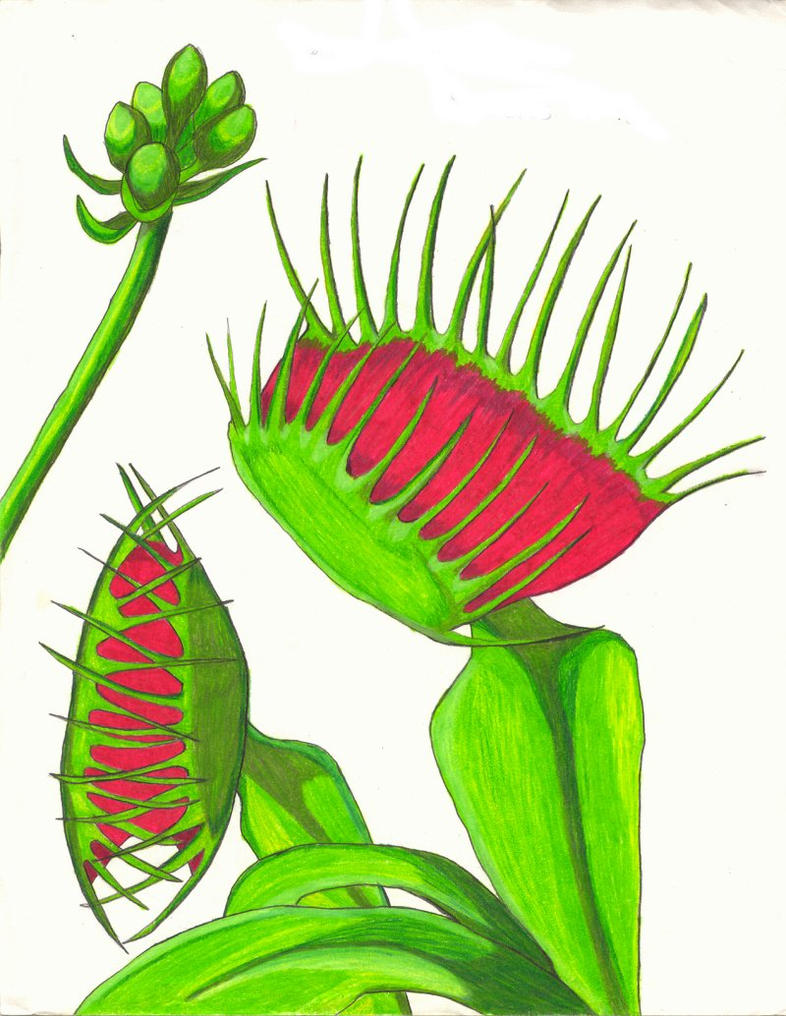 How to draw venus fly traps