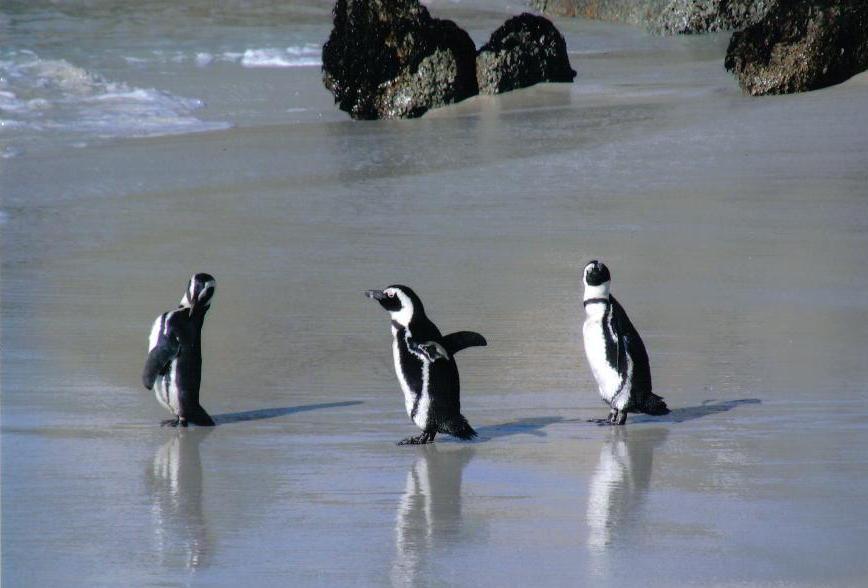 jackass penguins by ryuukai