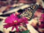 Monarch on Mum