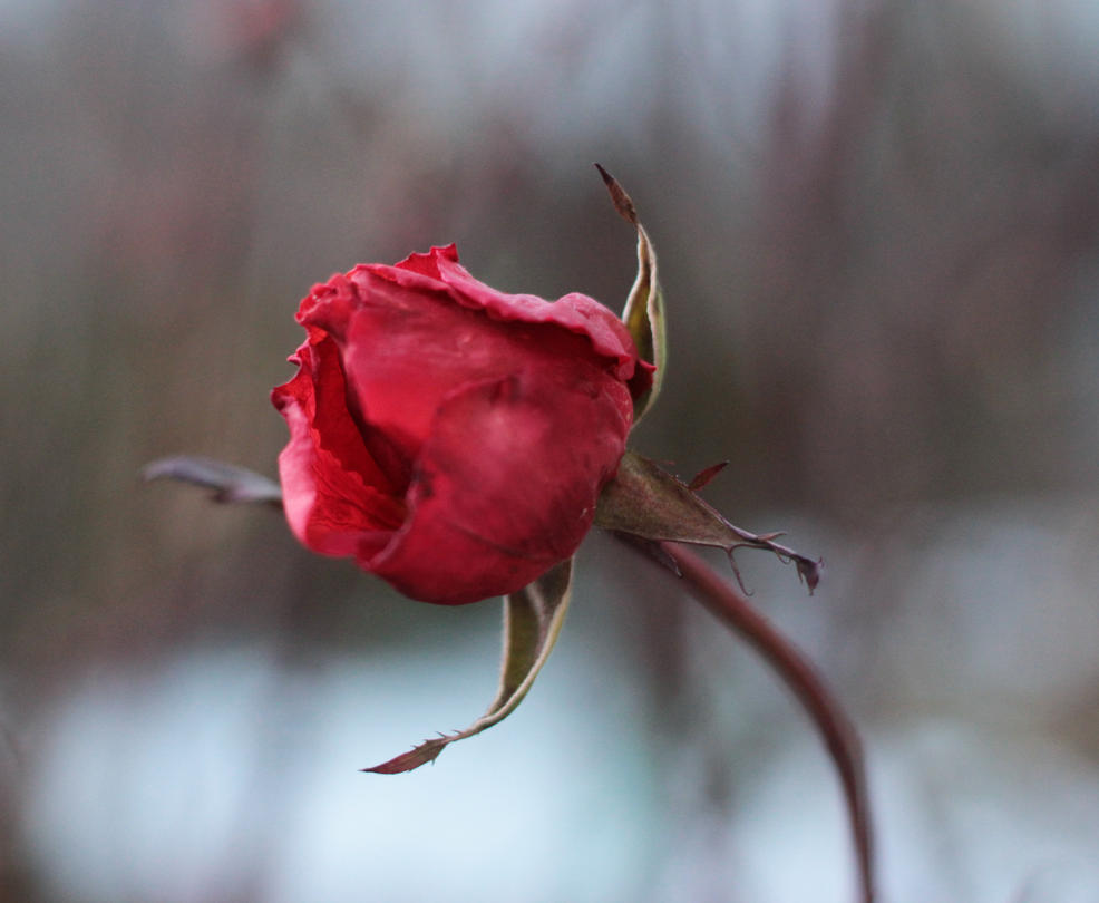 Late Winter Rose by emmagucci