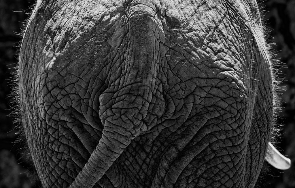 elephant by pauljavor