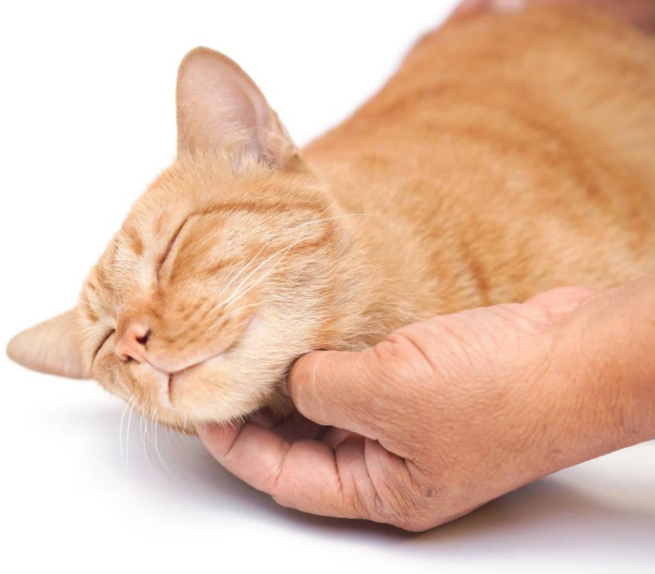 Hand-petting-cat-purring-orange-cat-cropped-1024x8