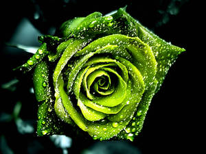 Free Dew On Green Rose Pictures Wallpaper
