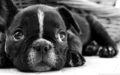 bulldog frances by ger59087 on DeviantArt