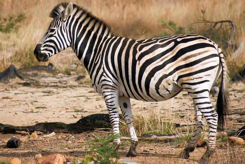 Zebra by Danie-07