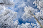 White forest...