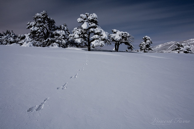 Hare tracks in the night... by vincentfavre