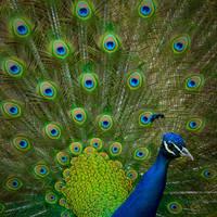 Paon bleu... by vincentfavre