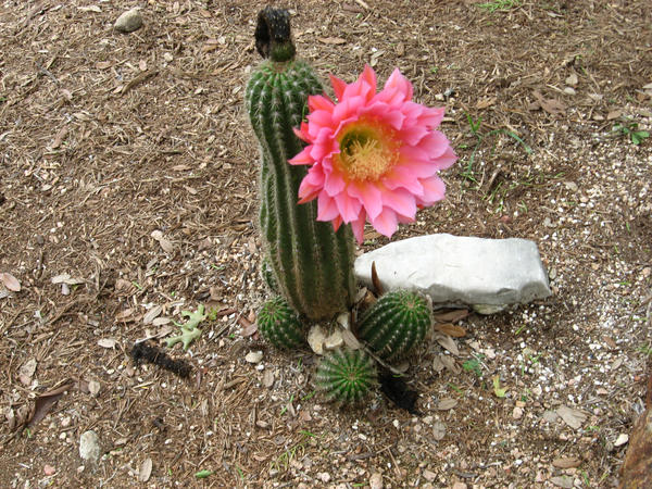 Pink cactus flower by rena no kingyo on deviantart pink cactus flower by rena no kingyo mightylinksfo