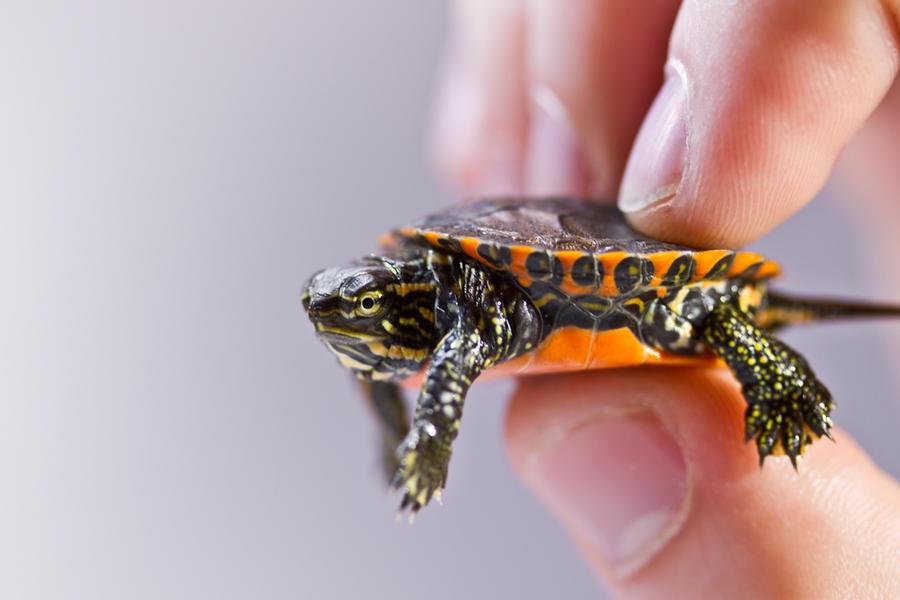 la petite tortue by jvrichardson