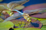 Green Darner with Mate