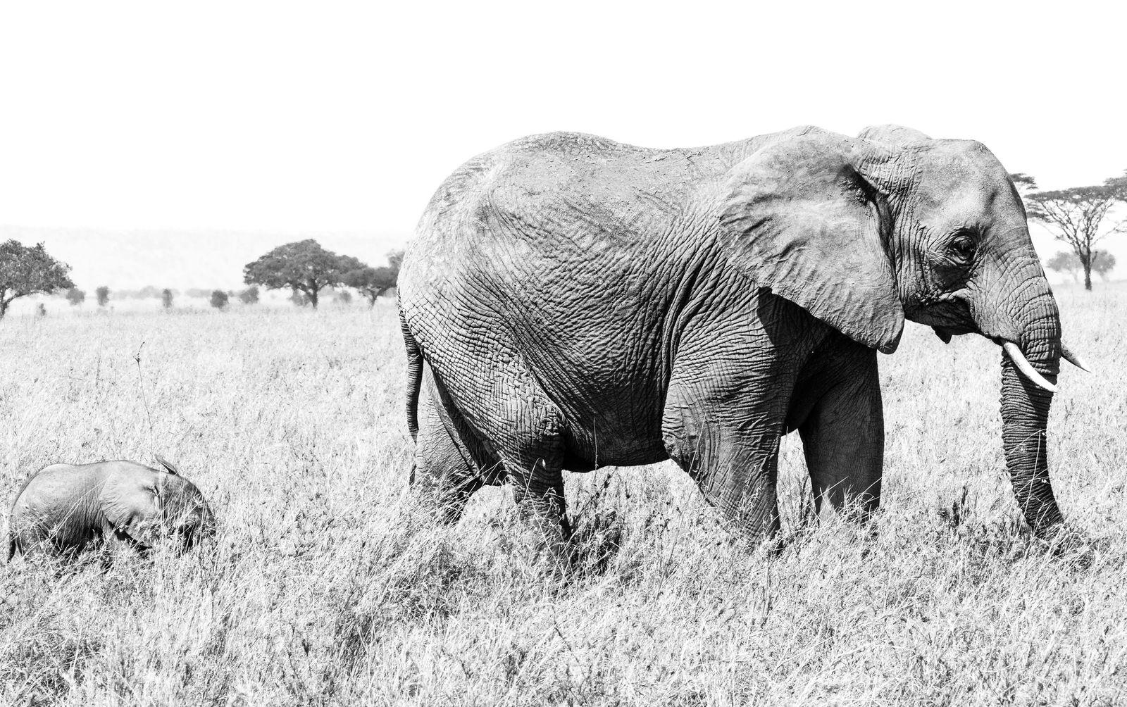 Week Old Elephant