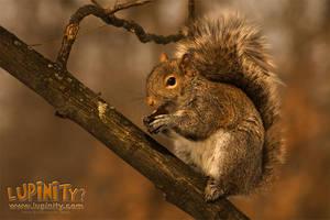 Itza squirrel