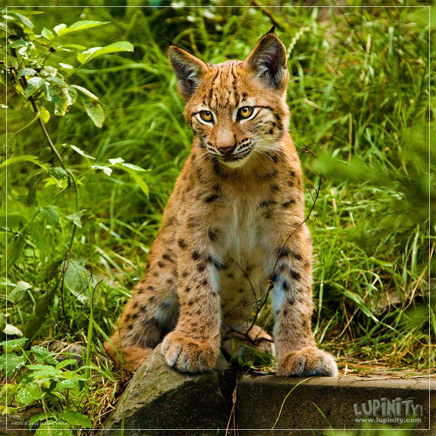 European Lynx Cub by Lupinicious