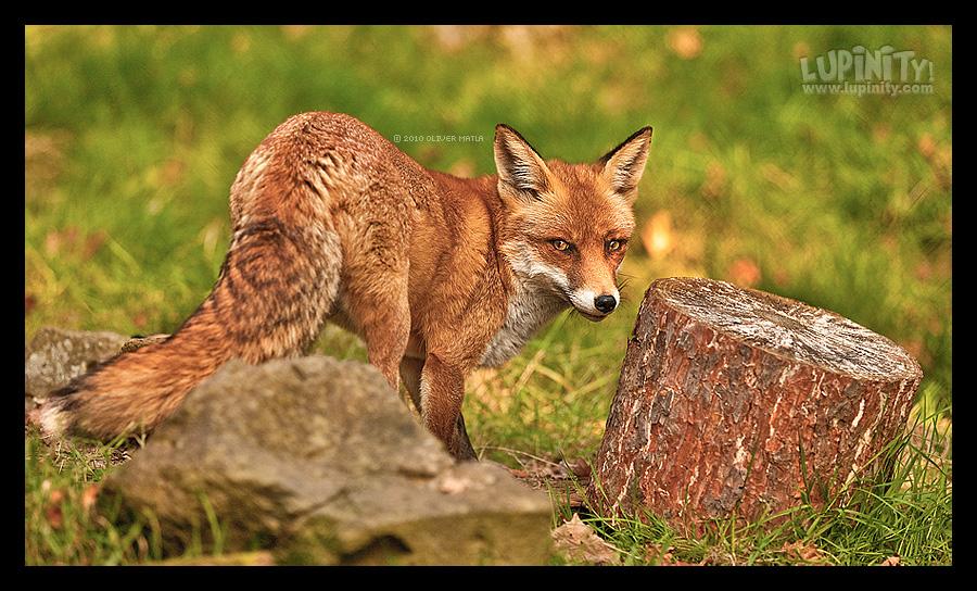 Foxy lady by Lupinicious