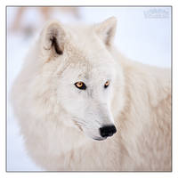 Dreamy White Gaze by Lupinicious