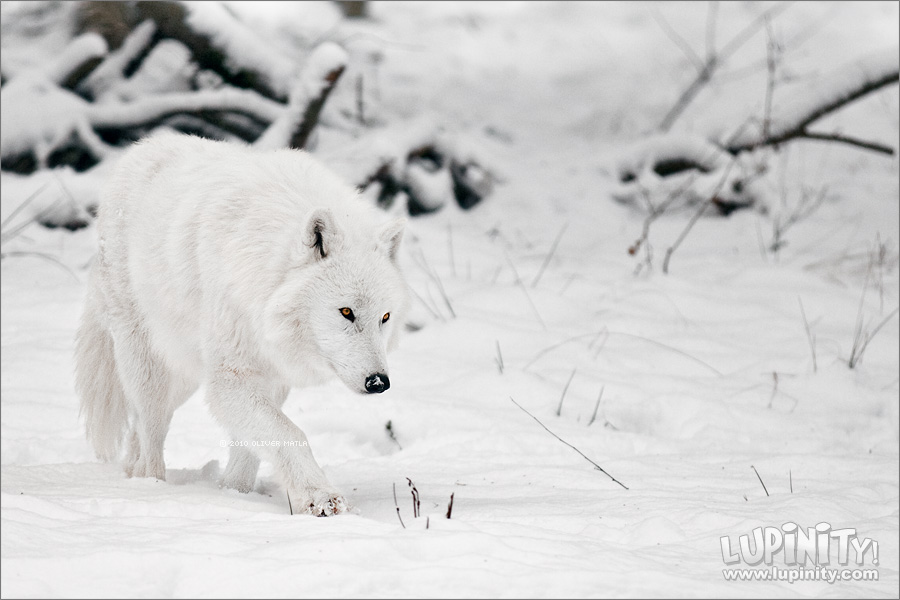 White Shadow by *Lupinicious