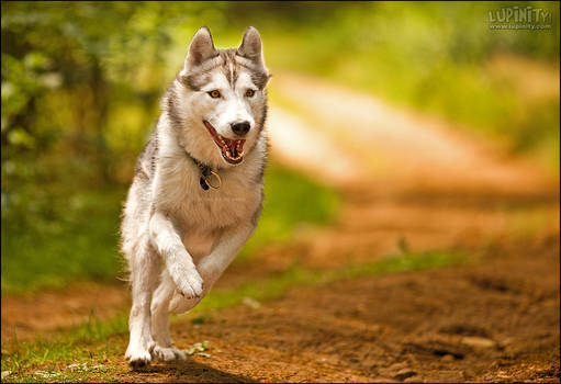 Run, Husky, Run