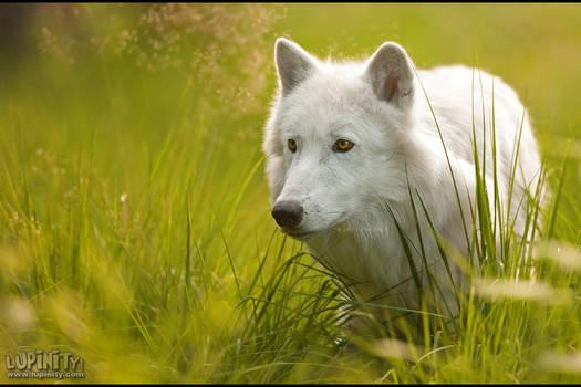 Dreaming of White Wolves