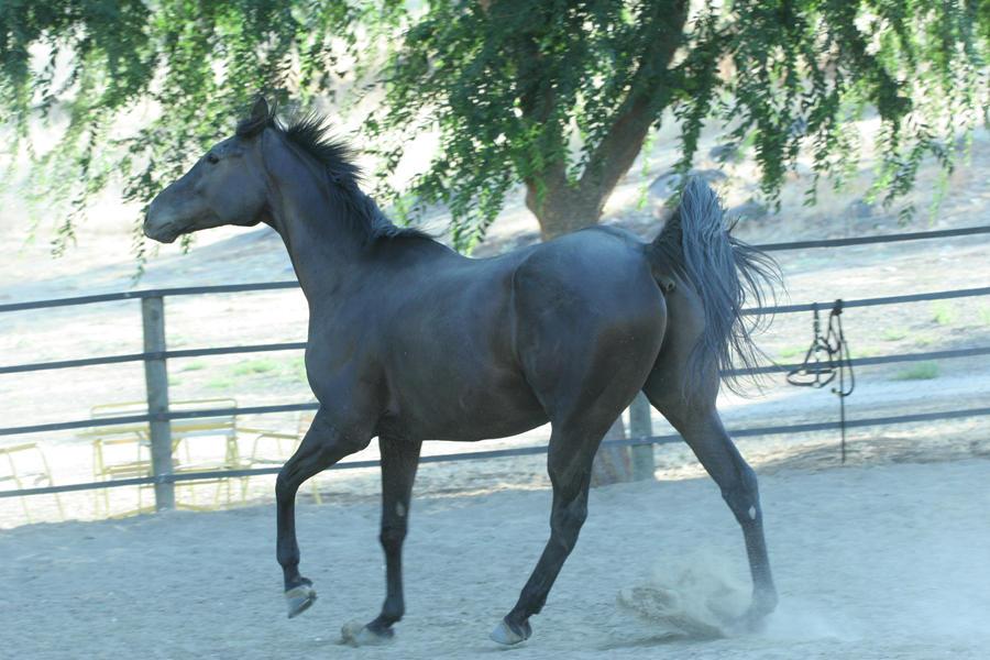 Black Thoroughbred Gelding by HorseStockPhotos
