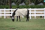 Quarter Horse Gelding Fly Sheet by HorseStockPhotos