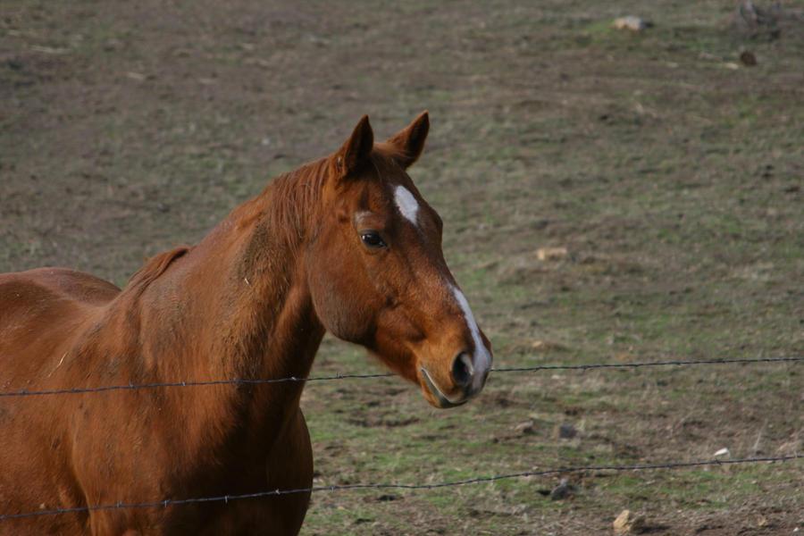 Roan Quarter Horse Gelding Headshot by HorseStockPhotos