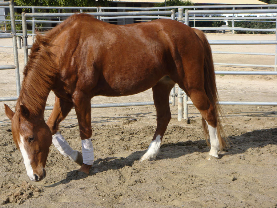 Chestnut Welsh / Thoroughbred Mare by HorseStockPhotos on ...