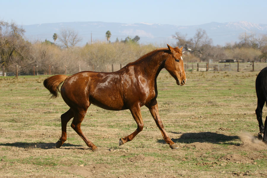 Chestnut thoroughbred mare at liberty in pasture by ...
