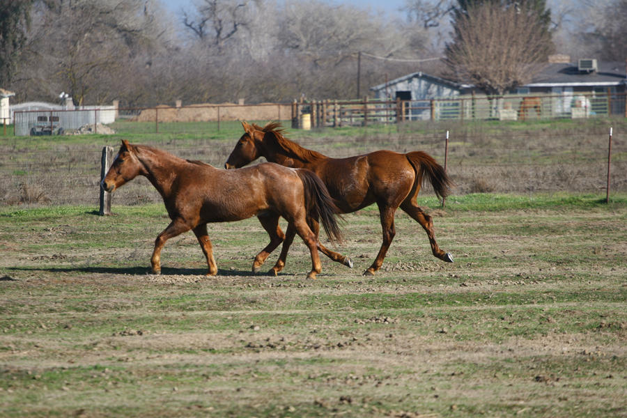 Chestnut Thoroughbred and Red Roan Quarter Horse by ...