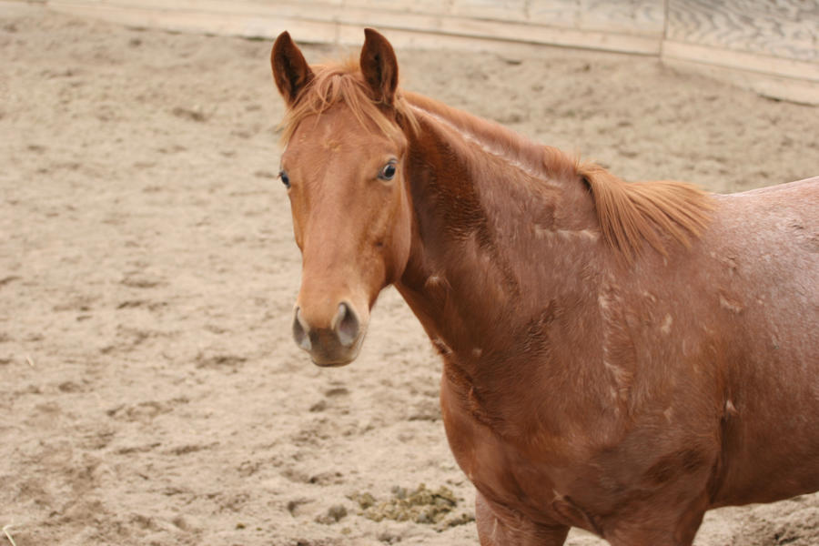 Yearling Red Roan Quarter Horse Gelding by ...
