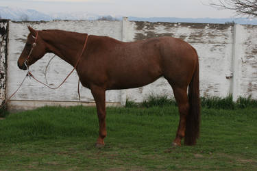 Red Roan Quarter Horse Mare Conformation by HorseStockPhotos